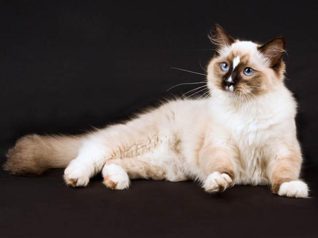 chat ragdoll