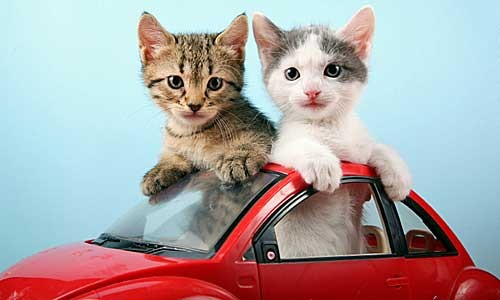 chat voiture