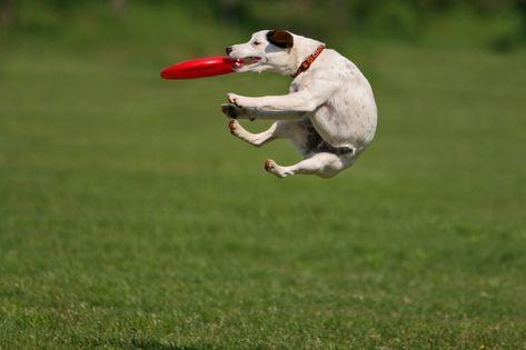 frisbee chien