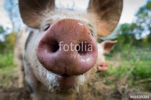 groin de cochon